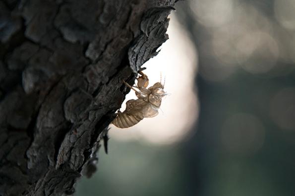 cicada resized